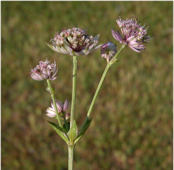 Astrantia major L. subsp. involucrata (W.D.J.Koch) Ces.