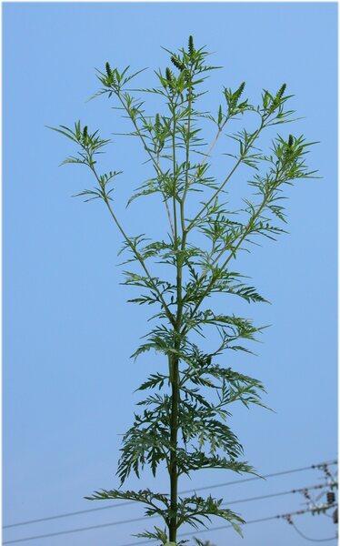 Ambrosia artemisiifolia L.