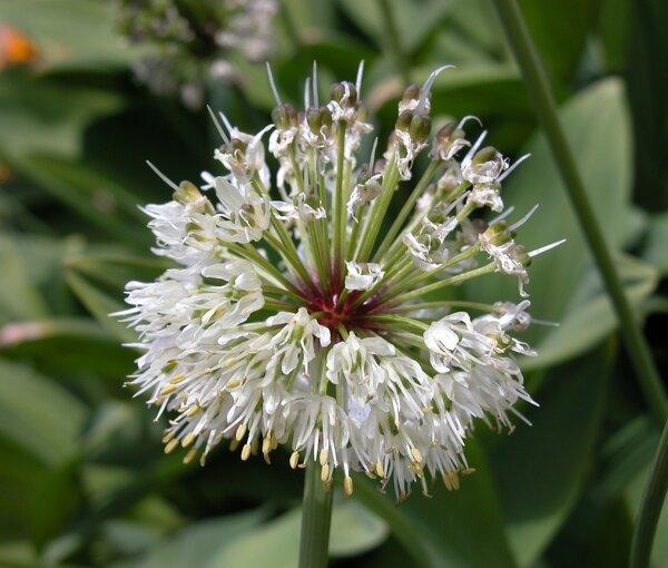 Allium victorialis L.