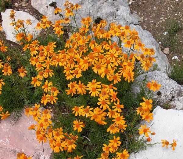 Jacobaea abrotanifolia (L.) Moench subsp. tiroliensis (A.Kern. ex Dalla Torre) B.Nord. & Greuter