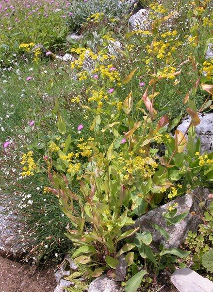 Bupleurum longifolium L. subsp. aureum (Hoffm.) Soó