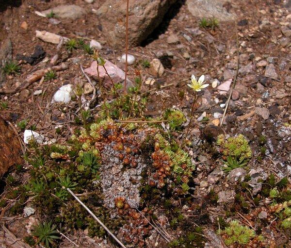 Saxifraga bryoides L.