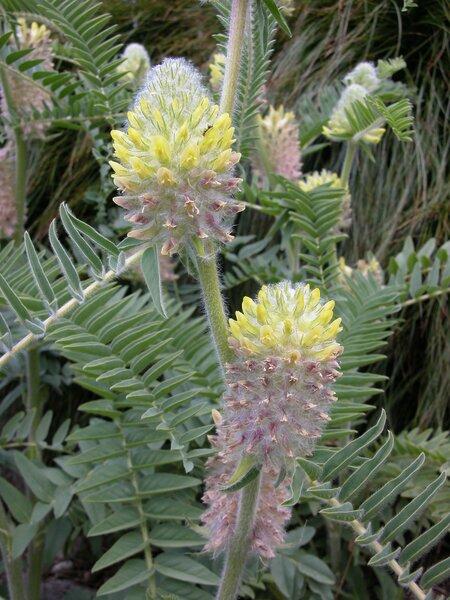 Astragalus alopecurus Pall.