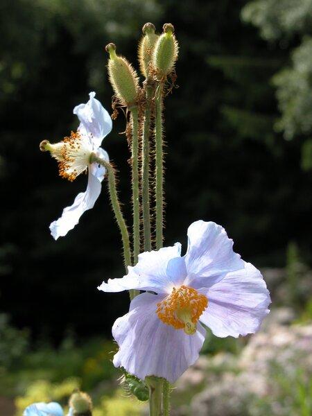 Meconopsis betonicifolia Franch.