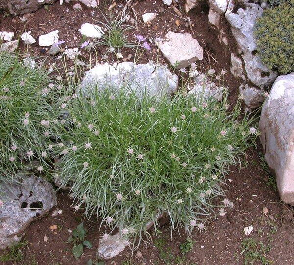Lomelosia graminifolia (L.) Greuter & Burdet subsp. graminifolia