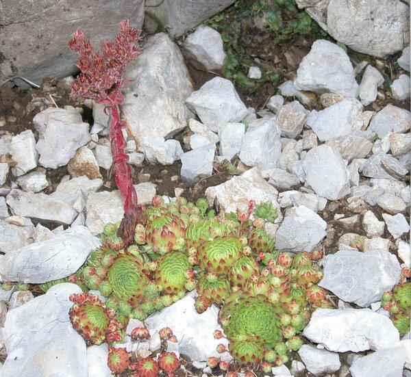 Sempervivum dolomiticum Facchini