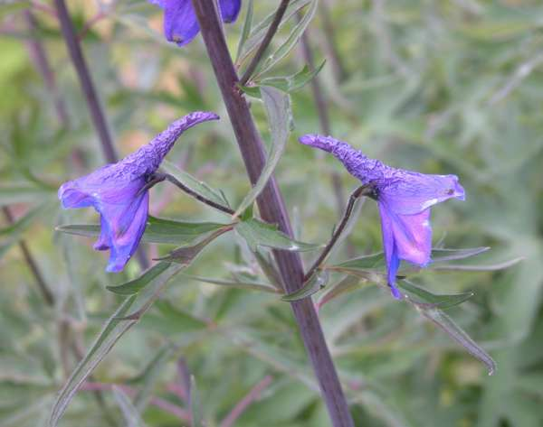Delphinium elatum L. subsp. helveticum Pawł.