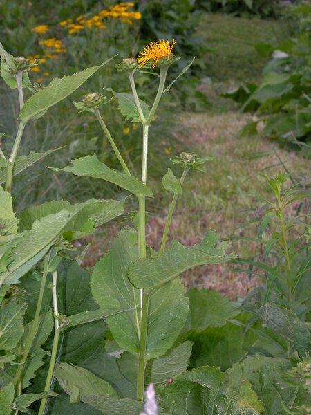 Telekia speciosa (Schreb.) Baumg.