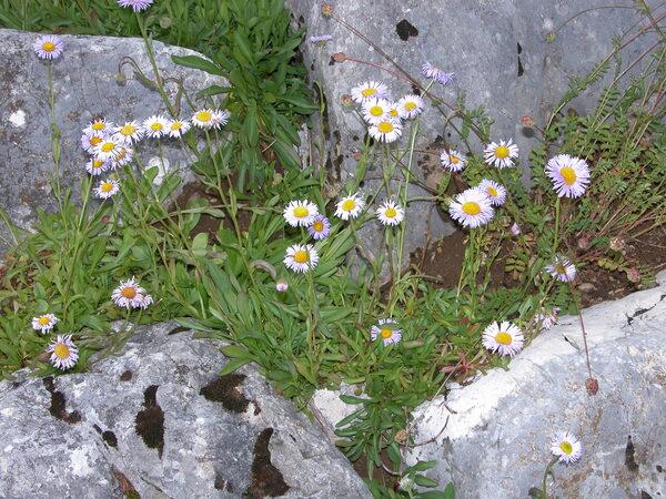 Aster caucasicus Willd.