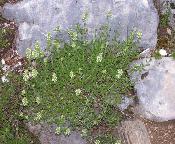 Stachys guillonii (Timb.-Lagr.) Soldano, Peruzzi & Bartolucci subsp. hyssopifolia (L.) Soldano, Peruzzi & Bartolucci