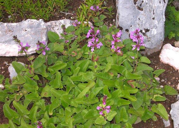 Stachys macrantha (K. Koch) Stearn