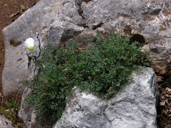 Papaver alpinum L.