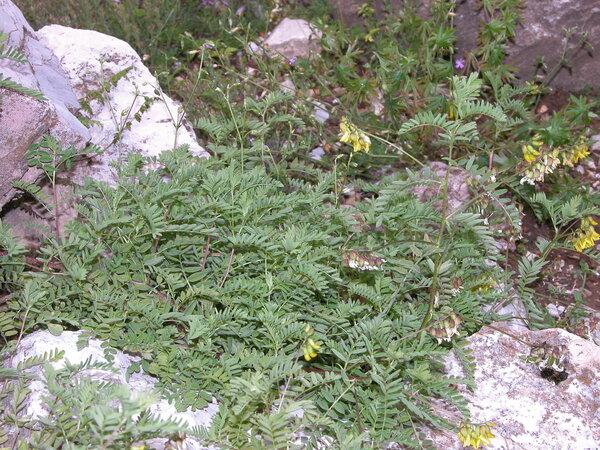 Astragalus penduliflorus Lam.