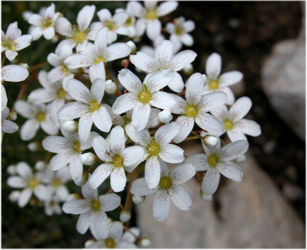 Saxifraga callosa Sm. subsp. callosa