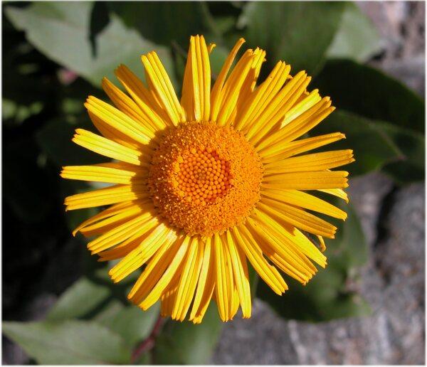 Xerolekia speciosissima (L.) Anderb.