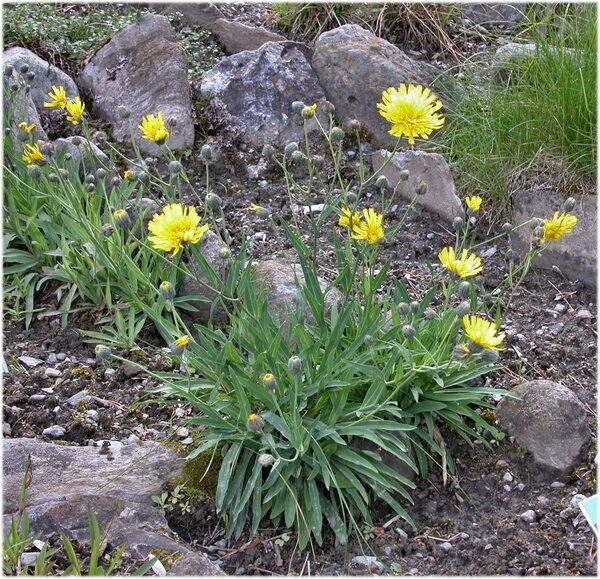 Hieracium bupleuroides C.C.Gmel.