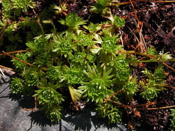 Saxifraga pedemontana All. subsp. cervicornis (Viv.) Engl.