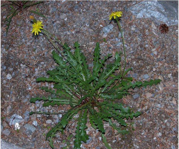 Leontodon hispidus L. subsp. hyoseroides (Welw. ex Rchb.) Murr