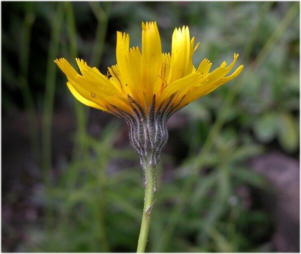 Hieracium glaucum All.