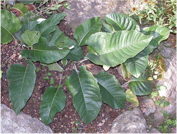 Rhaponticum scariosum Lam. s.l.