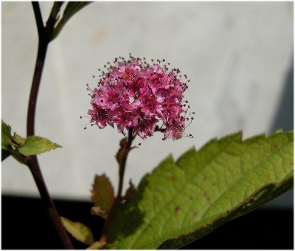 Spiraea japonica L.f.