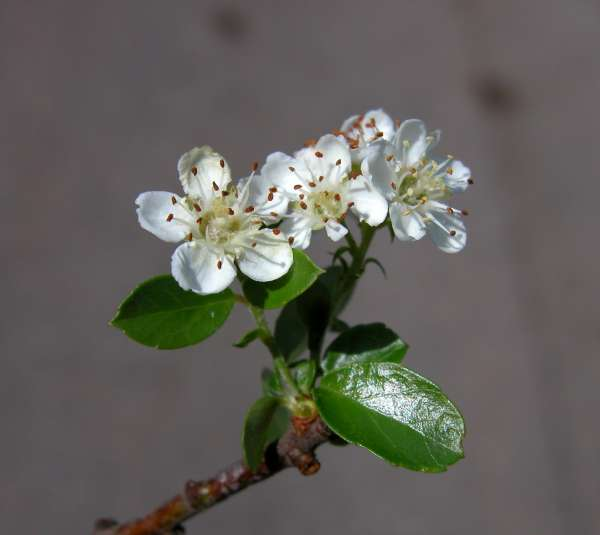 Cotoneaster sp.
