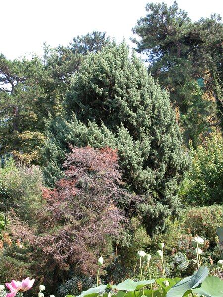 Juniperus macrocarpa Sm.