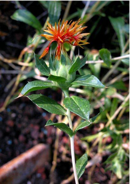 Carthamus tinctorius L.