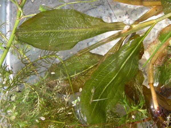 Potamogeton polygonifolius Pourr.