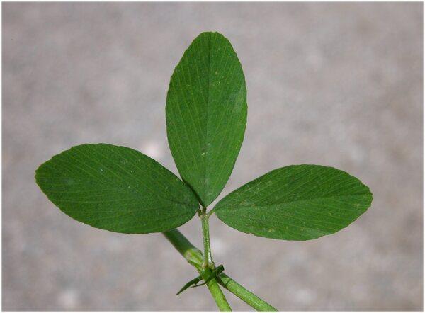 Trifolium alexandrinum L.