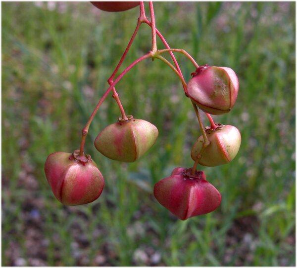 Euonymus latifolius (L.) Mill.