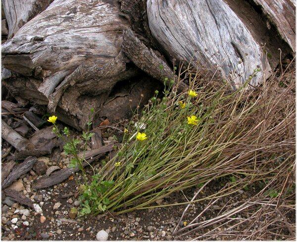 Ranunculus sardous Crantz