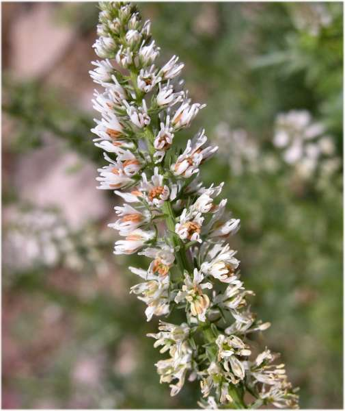 Reseda alba L. subsp. alba