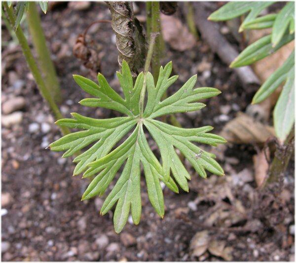 Aconitum tauricum Wulfen
