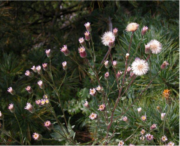 Erigeron acris L. subsp. acris