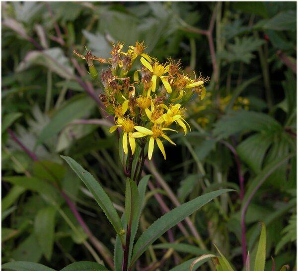 Senecio ovatus (G.Gaertn., B.Mey. & Scherb.) Willd. subsp. ovatus