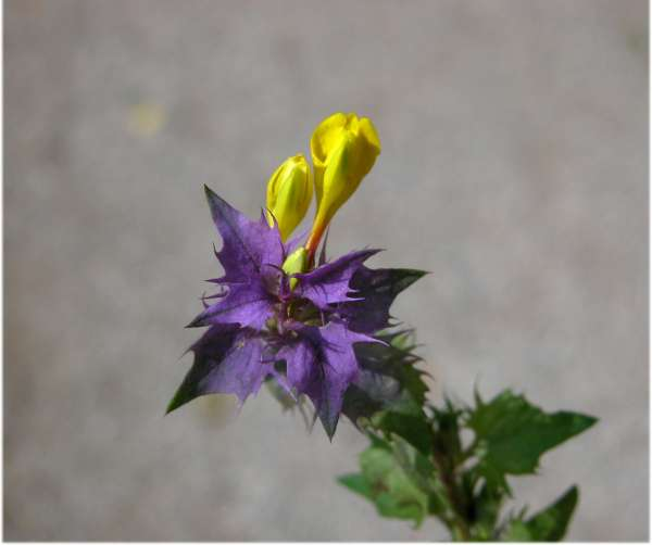Melampyrum italicum (Beauverd) Soó