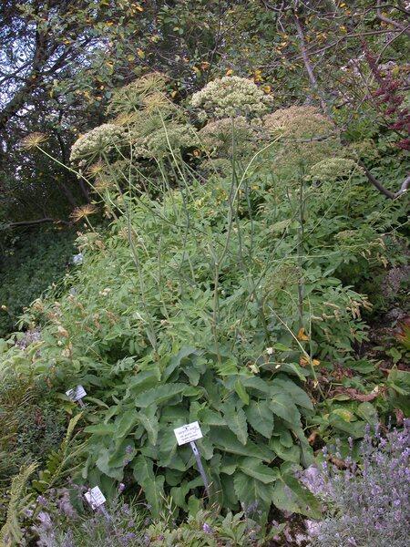 Laserpitium krapfii Crantz subsp. gaudinii (Moretti) Thell.