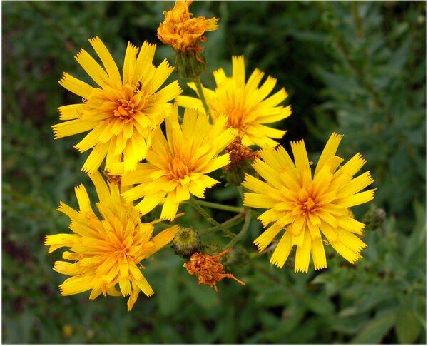 Hieracium vasconicum Martrin-Donos