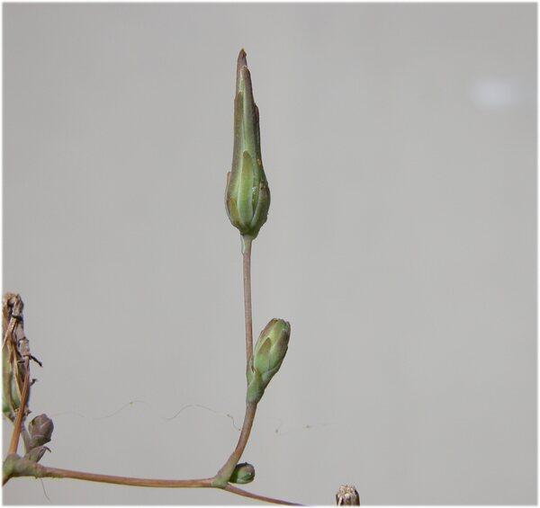Lactuca sativa L. subsp. serriola (L.) Galasso, Banfi, Bartolucci & Ardenghi