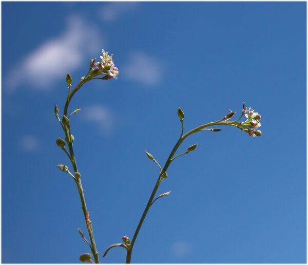 Lepidium graminifolium L. subsp. graminifolium