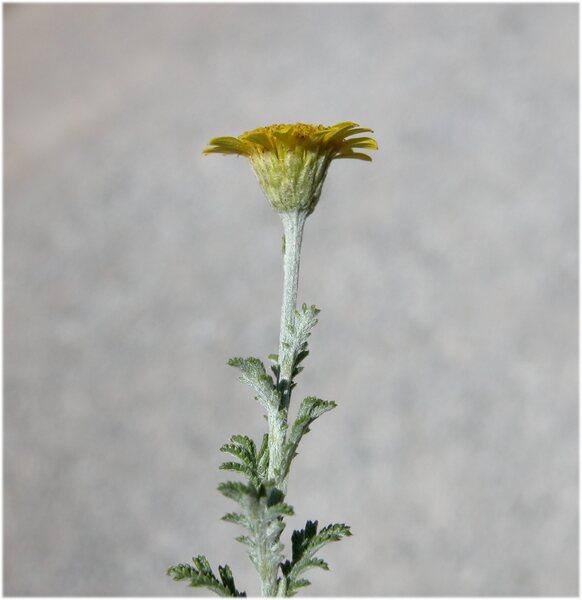 Cota tinctoria (L.) J.Gay subsp. australis (R.Fern.) Oberpr. & Greuter