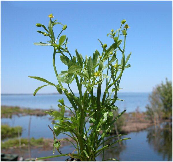 Ranunculus sceleratus L.