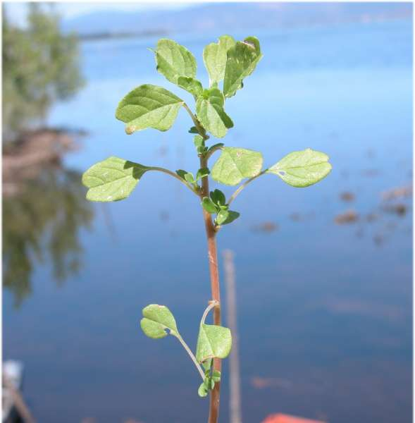 Amaranthus blitum L. subsp. blitum