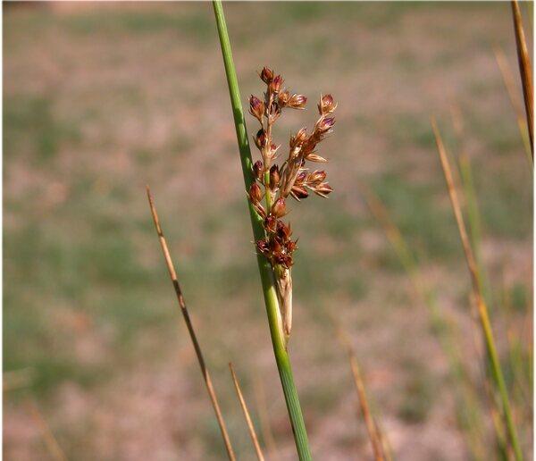 Juncus inflexus L. subsp. inflexus