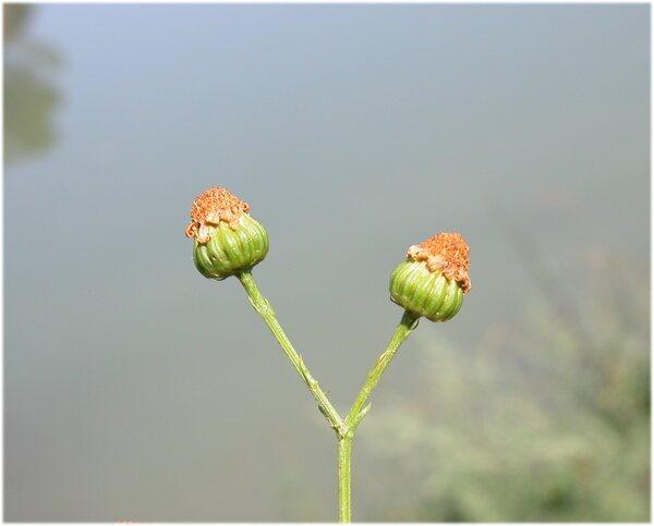 Jacobaea erucifolia (L.) G.Gaertn., B.Mey. & Scherb. subsp. erucifolia