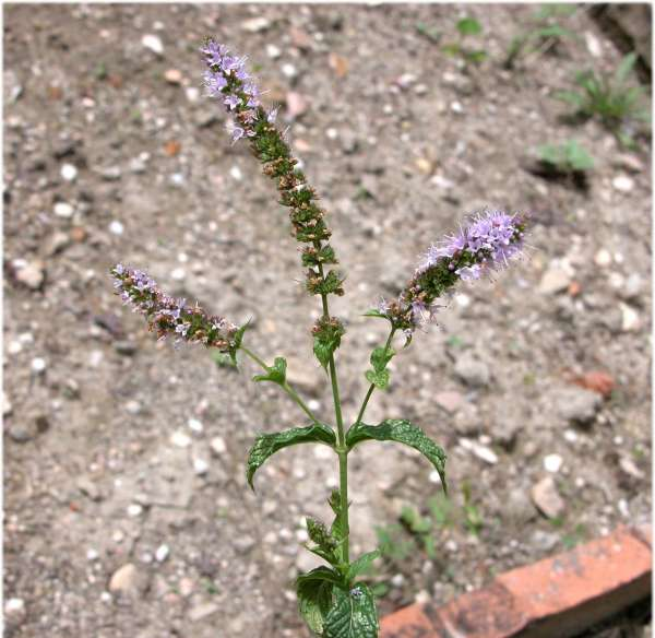 Mentha spicata L. subsp. glabrata (Lej. & Court) Lebeau