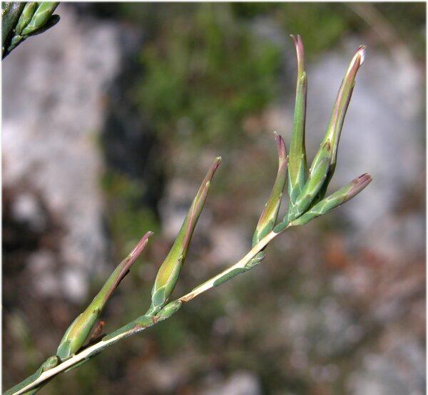 Lactuca viminea (L.) J.Presl & C.Presl subsp. viminea