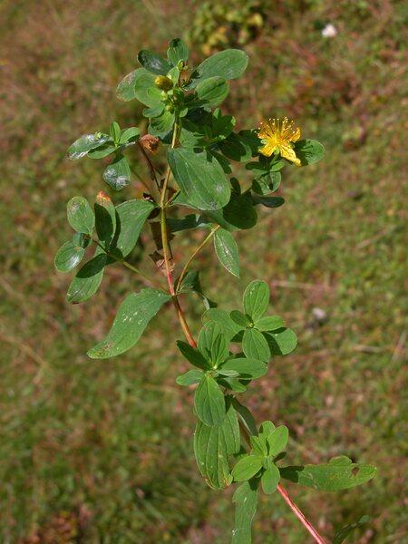 Hypericum maculatum Crantz subsp. maculatum