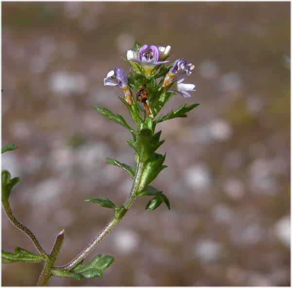 Euphrasia officinalis L. subsp. picta (Wimm.) Oborny